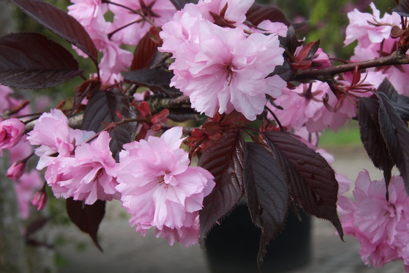 provender-factsheet-Prunus 'Royal Burgundy'