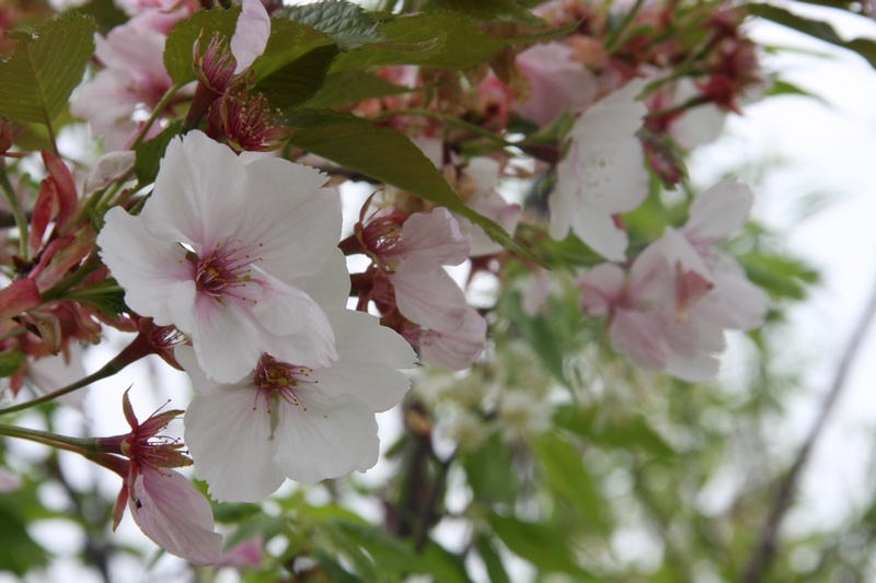provender-factsheet-Prunus 'Sunset Boulevard'