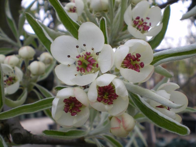 provender-factsheet-Pyrus salicifolia 'Pendula'
