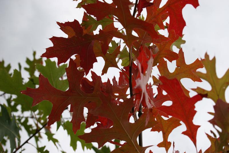 provender-factsheet-Quercus coccinea