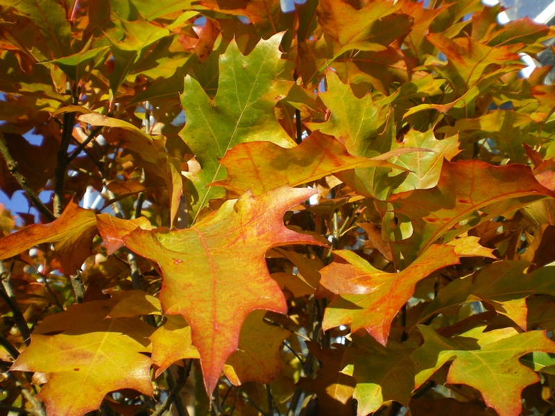 provender-factsheet-Quercus palustris 'Green Dwarf'